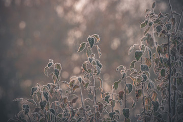 Frozen plants in the morning sunrise