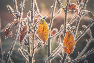 Colorful leaves covered with frost