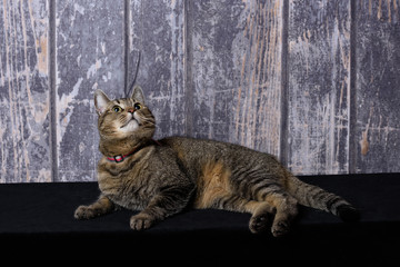 Cat lying on black surface with a wooden background and looking up into the sky