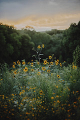 Yellow flowers blooming on field at forest during sunset