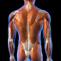 Male Back Muscles