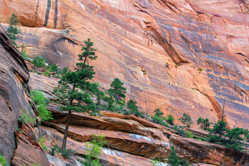 Pine Trees in Zion National Park