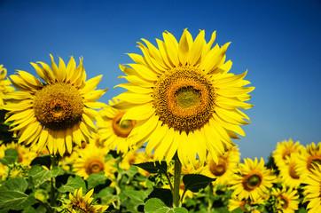 Photo sur Aluminium Tournesol Sunflowers ,Circle, Flower, Gold, Plant, Single Flower,Nature