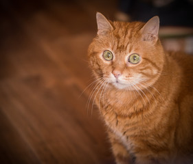 Lovely red cat. Soft focus.