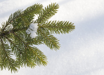 spruce branch on a white background
