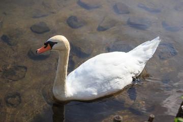 水辺の 白鳥
