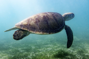 Sea Turtle Swimming 1