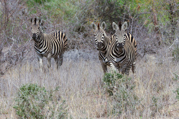 Three Zebra's grazzing in fields