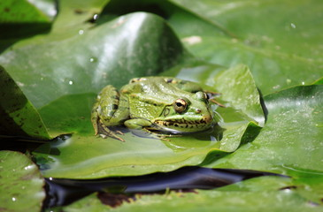 Frog on a lily pond