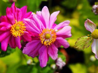 Anemone hupehensis var. japonica 'Prinz Heinrich' - Japanese anemone, thimbleweed, windflower
