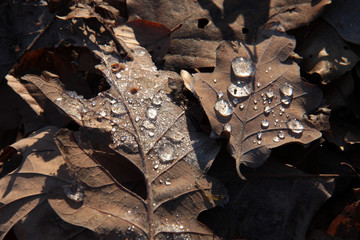 frozen water on oak leaves