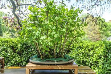 indeterminate bonsai with flowerpot in background vegetable
