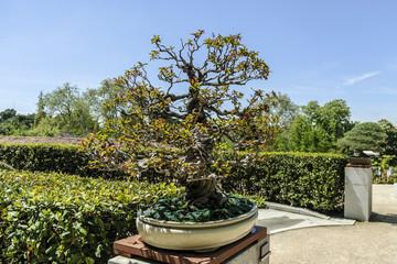 Pomegranate tree bonsai isolated outdoors
