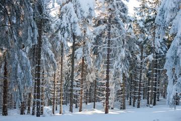 Zasypane śniegiem drzewa w Masywie Śnieżnika, Kotlina Kłodzka