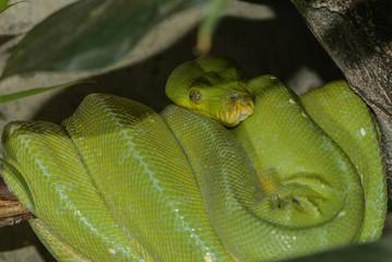 Grüner Baumpython auf seinem Schlafast