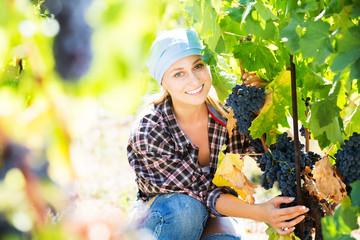 Woman harvesting grape in farm Fototapete