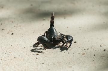 black scorpion (Pandinus imperator) on concrete background