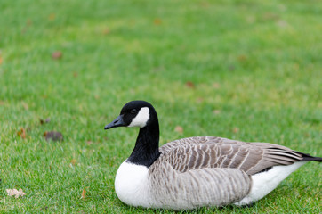one lonely canada goose lay on the graas