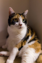 Calico cat with dilated pupils sitting in corner ready to play