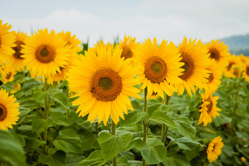 Pretty yellow sunflowers