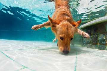 Underwater funny photo of golden labrador retriever puppy in swimming pool play with fun - jumping, diving deep down. Actions, training games with family pet, popular dog breeds on summer vacation