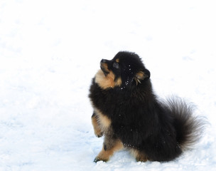 Black dog walking in the winter. Black Pomeranian on white snow