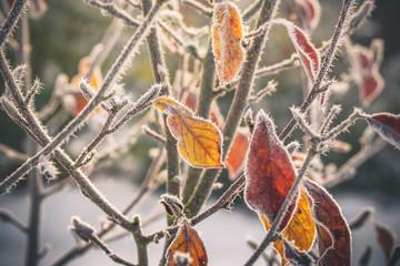 Frost on golden leaves