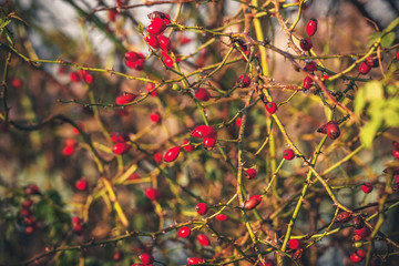 Red Rosa Rugosa plant with spikes