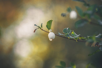 Snowberry hanging on a small twig