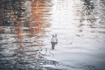 Wild bird in the cold water