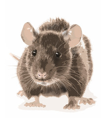 picture of rat