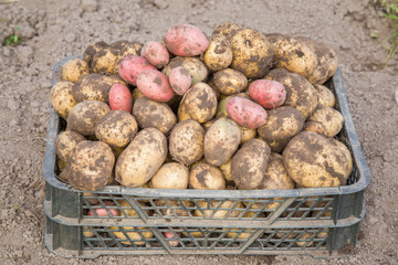 Just dug new potatoes. Potatoes harvest in the box in the garden.