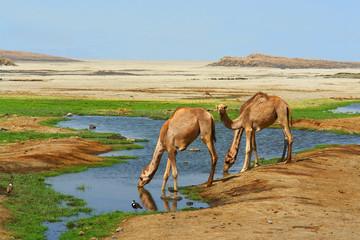 Wielbłądy dromadery u wodopoju na pustyni w Dżibuti