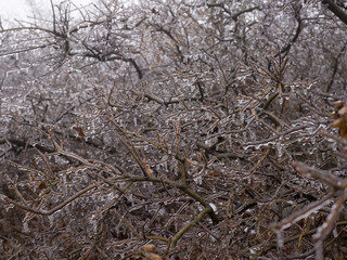 Frozen tree branches, close up