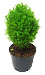 Juniper in a pot