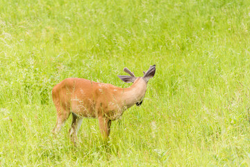 One horned deer grazing in sunny meadow