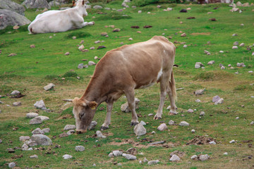 A cow grazing on a field