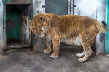 A Liger in Harbin, China. The Liger is the hybrid of a male lion and a female tiger, and there is only a 0.1% chance that such a baby is born.