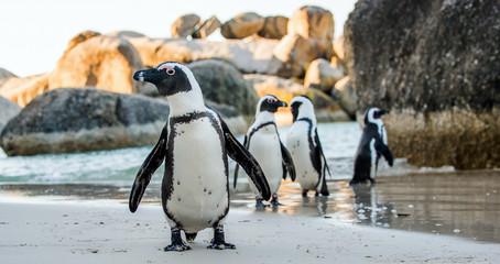 In de dag Pinguin African penguin ( Spheniscus demersus)