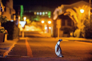 The African penguins in Simonstown at night. (Spheniscus demersus), also known as the jackass penguin and black-footed penguin is a species of penguin.