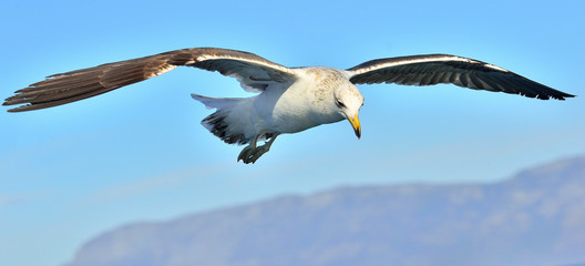 Flying Kelp gull (Larus dominicanus), also known as the Dominican gull and Black Backed Kelp Gull. False Bay, South Africa Wall mural