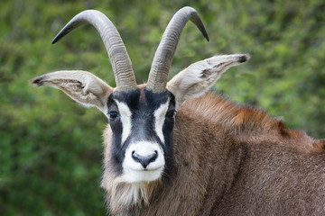 Roan antelope close up portrait. Staring forward and looking at viewer Wall mural