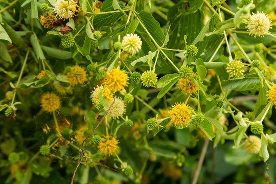 flowers of Neonauclea purpurea ;Merr. Anthocephalus chinensis; RUBIACEAE . local tree in Thailand]..
