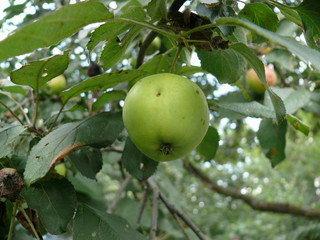 Apple ripens in the leaves on the tree
