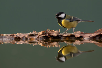 Wall Mural - Great tit perched on leaves at side of pool showing reflection in water with blue green background.