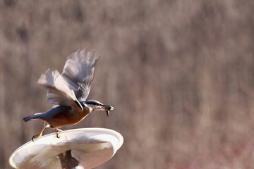 Nuthatch performs the first blow wings
