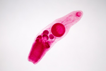 parasite on slide under microscope view.