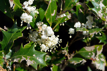It is a flower of holly olive-Osmanthus heterophyllus- in Fukuoka city, JAPAN. The Japanese name of this plant is Hiiragi. It is in December.