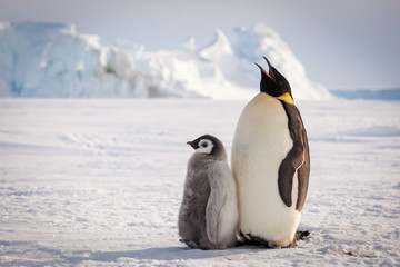 Emperor penguin mom singing song for chick