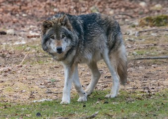 A Wolf (canis lupus) at a german deer park in summer